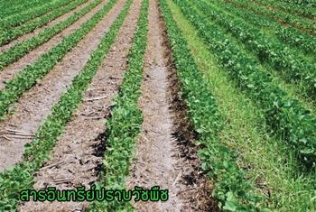 ไกลโฟน่า,ยาฆ่าหญ้าชีวภาพ,สารอินทรีย์สกัดกำจัดวัชพืชในนาข้าว,ยาปราบวัชพืชในนาข้าวม,สารกำจัดวัชพืชมันสัมปะหลัง,สารกำจัดวัชพืชอินทรีย์,สารชีวภาพกำจัดหญ้า,การกำจัดวัชพืชโดยไม่ใช้สารเคมี,สารชีวภัณฑ์,ไตรโคเดอร์มา,บิวเวอร์เรีย,เมธาไรเซียม,พาซิโลมัยซิส,บีที,บีเอส