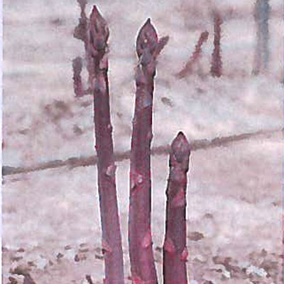 Pacific Purple Asparagus Crowns (หน่อไม้ฝรั่งแปซิฟิกสีม่วง)