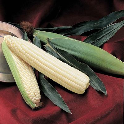 Silver Queen Corn (ข้าวโพดหวานราชินีสีเงิน)