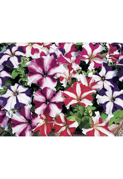 ดอกพิทูเนีย จัมโบ้ สตาร์ มิกซ์ / 20 เมล็ด