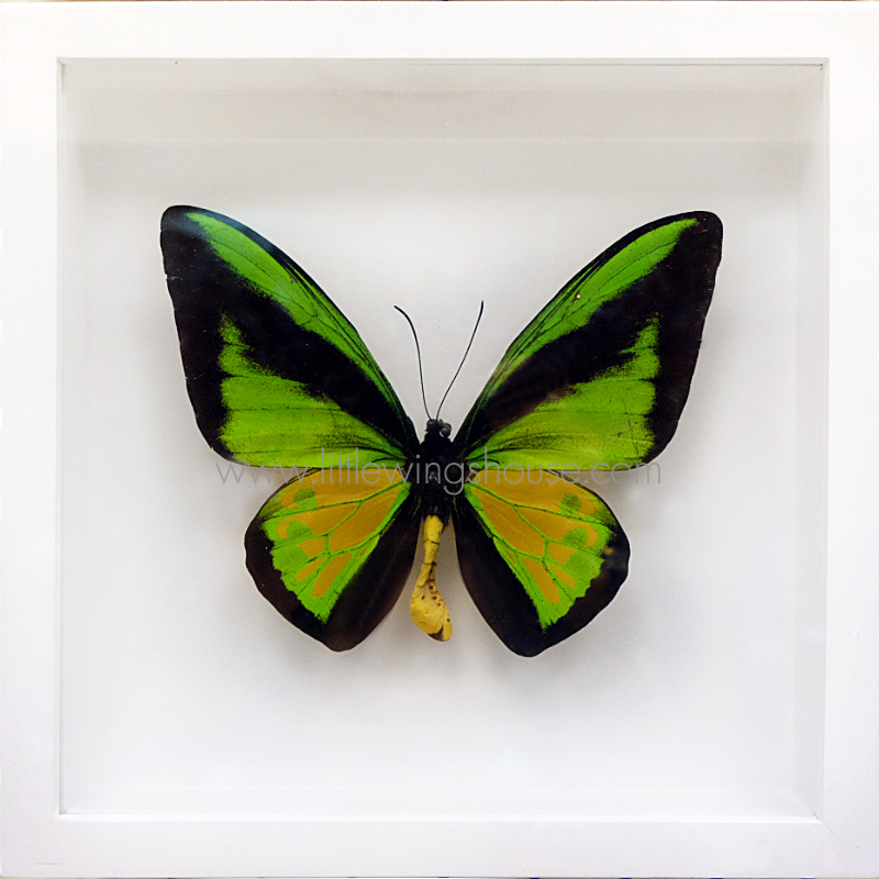 ++ ผีเสื้อสต๊าฟ กล่องผีเสื้อเซ็ทลอย ผีเสื้อปีกนกโกไลแอธ (Ornithoptera goliath) // กล่องสีขาว ++