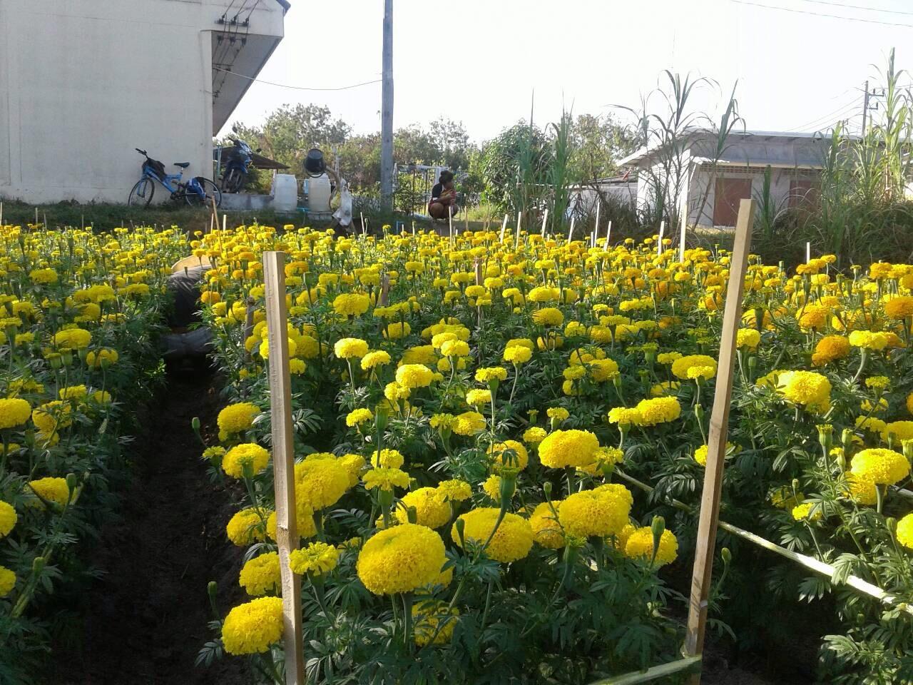 มงคลสีเหลือง จำนวน 100 เมล็ด