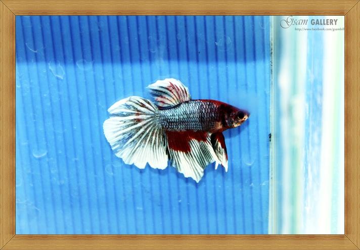 ปลากัดครีบยาว - Fancy Halfmoon 011