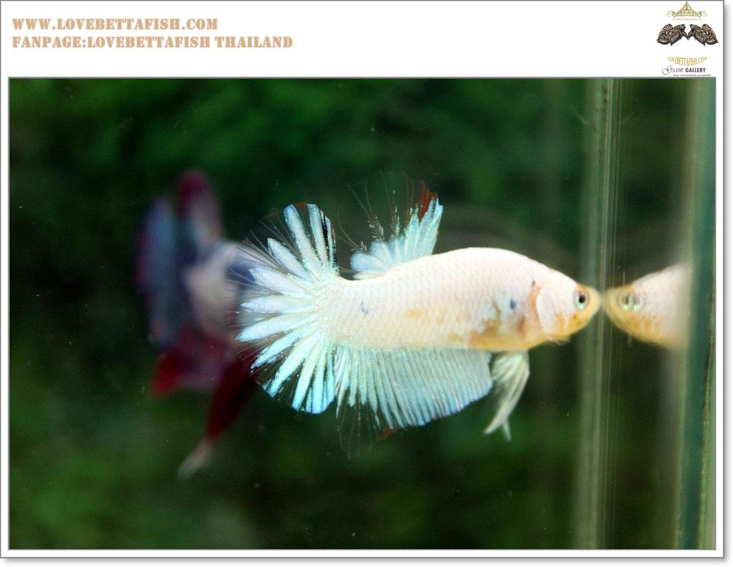 คัดเกรดปลากัดครีบสั้น-Halfmoon Plakat Fancy Nice Marble Dragon