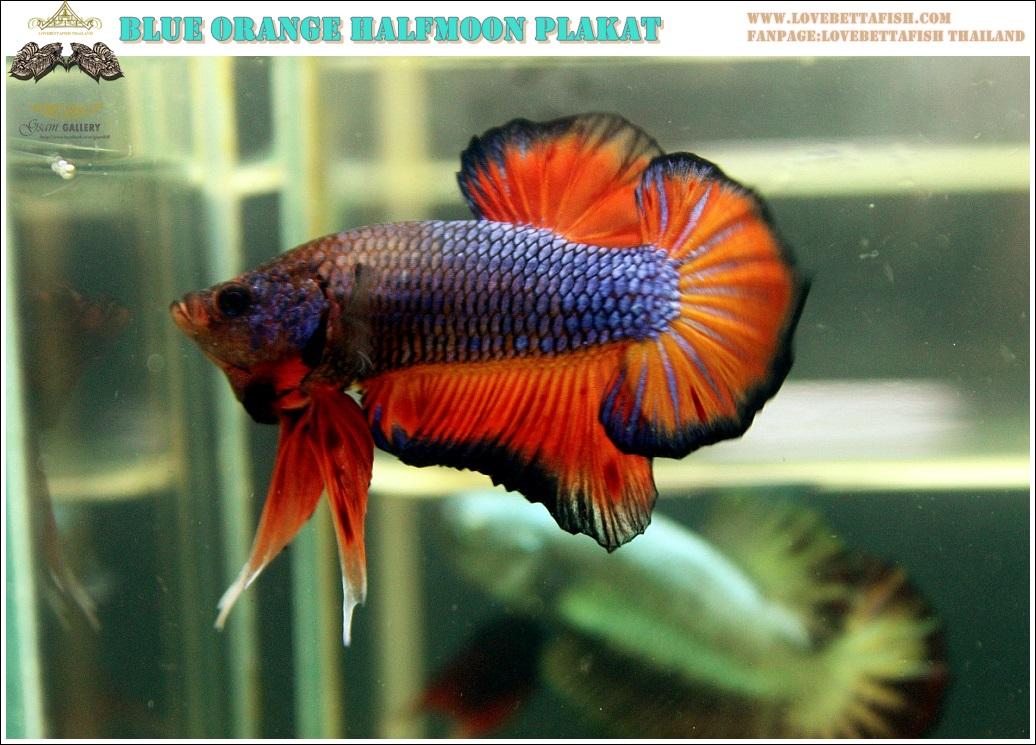 """(ขายแล้วครับ)""""คัดเกรด""""ปลากัดครีบสั้น-Halfmoon Plakats Fancy Dragon Blue Orange"""