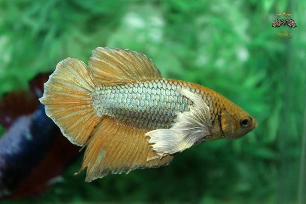 ปลากัดคัดเกรดครีบสั้นหูช้าง - Halfmoon Plakad BigEar Yellow Quality Grade