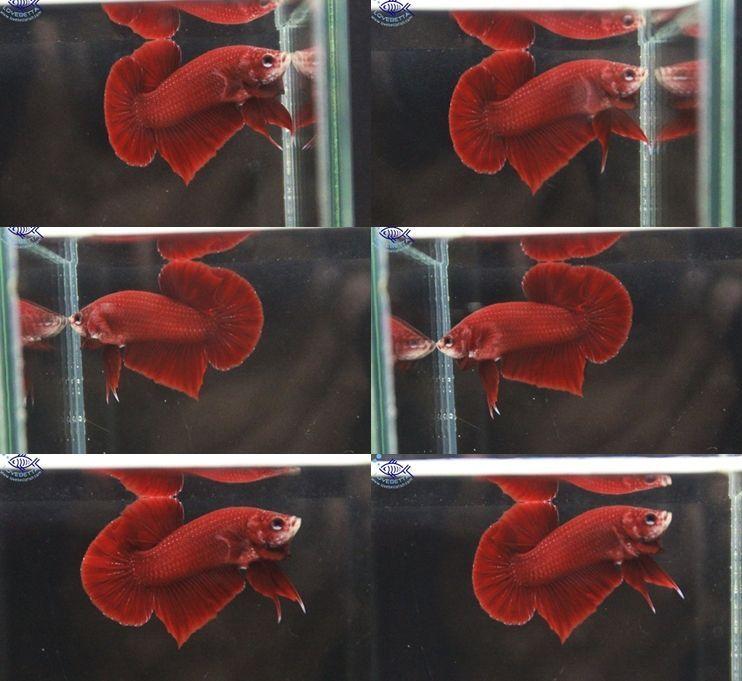 ปลากัดครีบสั้น - Halfmoon Plakats Super Red1