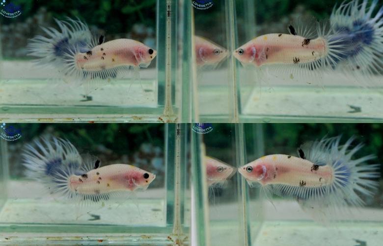 """(ขายแล้วครับ)ตอนรับเทศกาล สงกรานต์ """"คัดเกรด""""ปลากัดครีบสั้น-Halfmoon Plakats"""