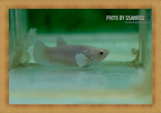 (ขายแล้วครับ)ปลากัดครีบสั้นหูช้าง-Halfmoon Plakats Big Ear Female