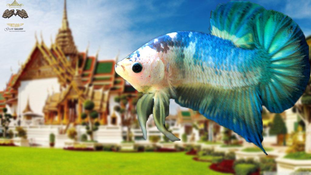 """(ขายแล้วครับ)ตอนรับปีใหม่""""คัดเกรด""""ปลากัดครีบสั้น-Halfmoon Plakats Green Marble"""