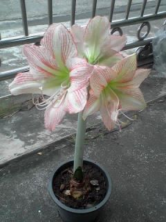 New Amaryllis
