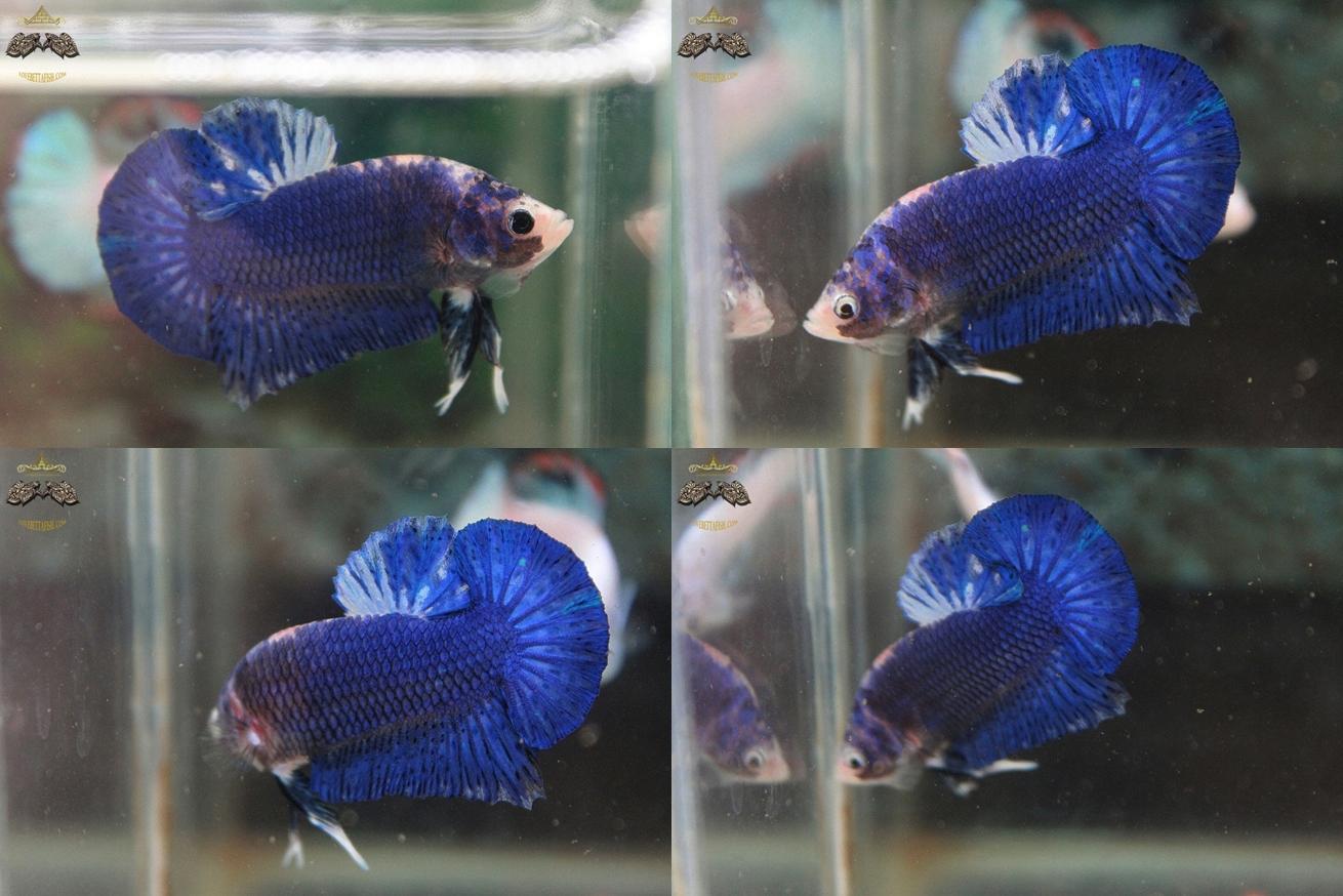"""(ขายแล้วครับ)""""คัดเกรด""""ปลากัดครีบสั้น-Halfmoon Plakats Fancy Blue Dragon"""