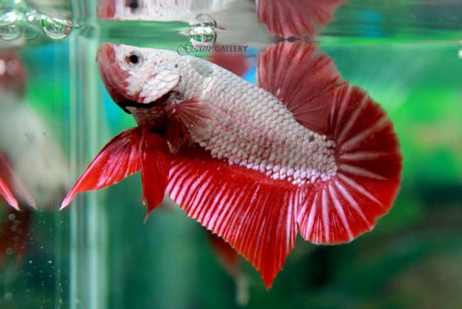 (ขายแล้วครับ)ปลากัดครีบสั้น - Halfmoon Plakats RED DRAGON3