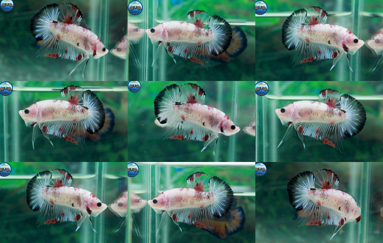 """(ขายแล้วครับ)""""คัดเกรด""""ปลากัดครีบสั้น-Halfmoon Plakats Fancy Koi Red Mark"""