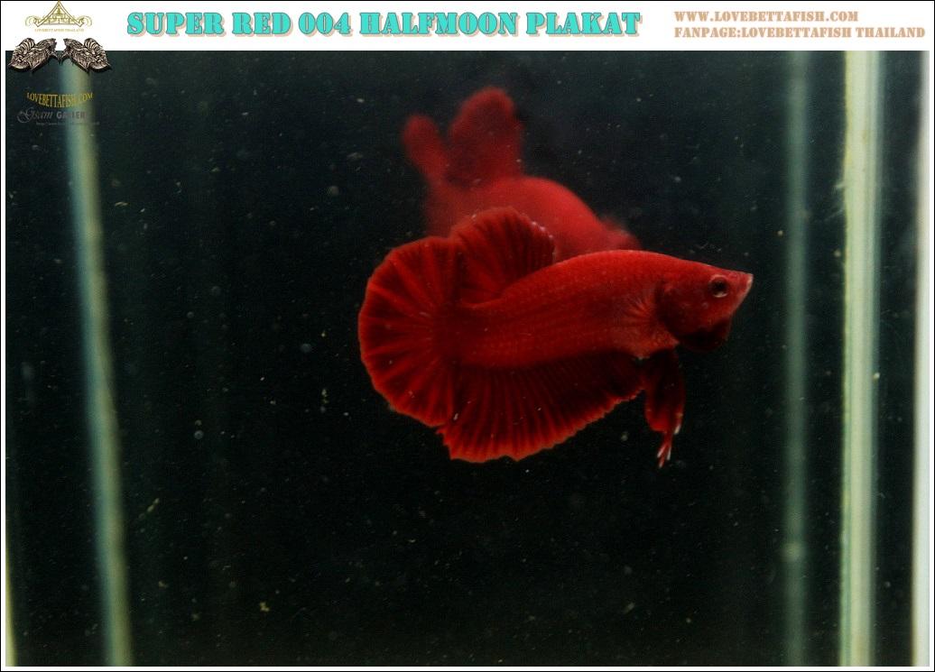 """(ขายแล้วครับ)""""คัดเกรด""""ปลากัดครีบสั้น-Halfmoon Plakats Super Red 004"""