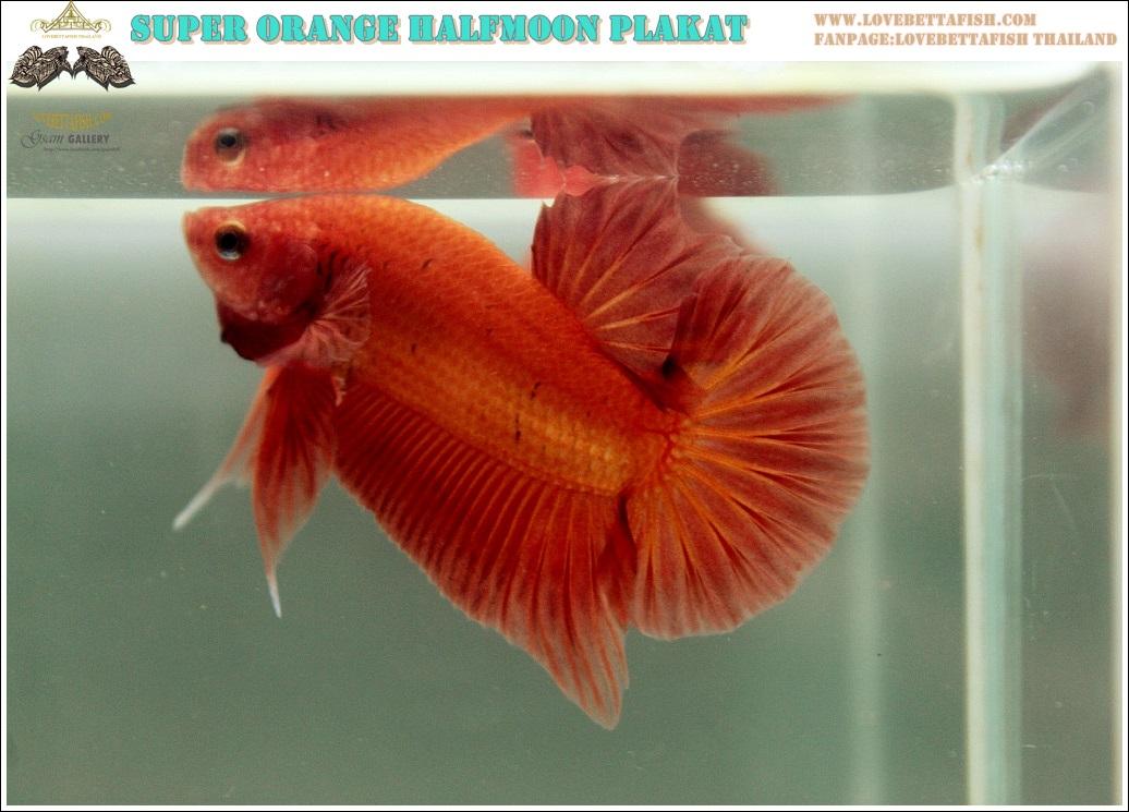 """(ขายแล้วครับ)""""คัดเกรด""""ปลากัดครีบสั้น-Halfmoon Plakats Super Orange 002"""