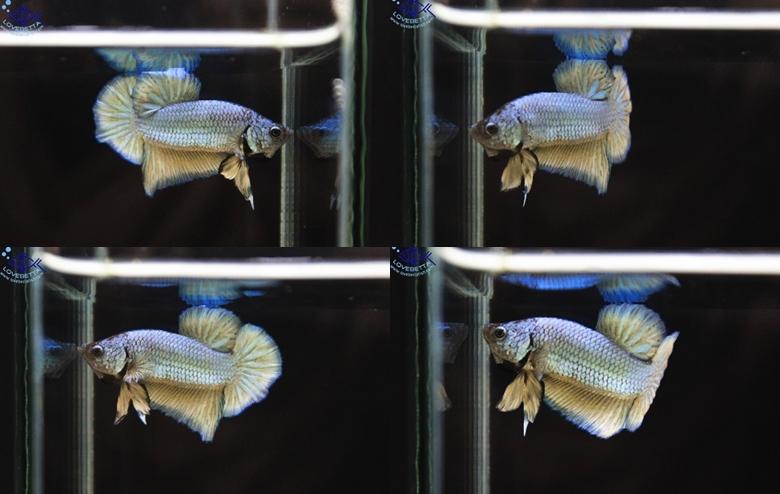 """(ขายแล้วครับ)""""คัดเกรด""""ปลากัดครีบสั้น-Halfmoon Plakats Fancy3"""