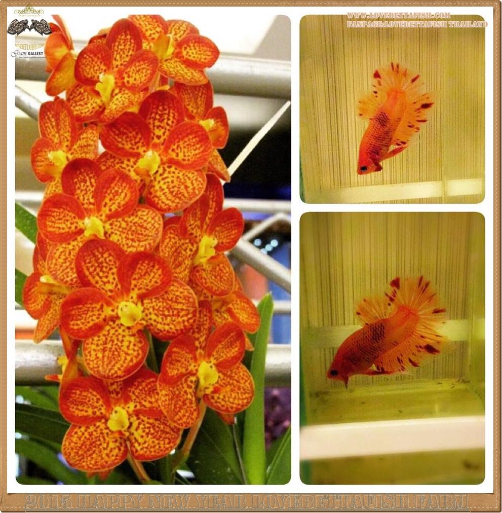 ปลากัดครีบสั้น-Fancy Color Flower ลายดอกกล้วยไม้