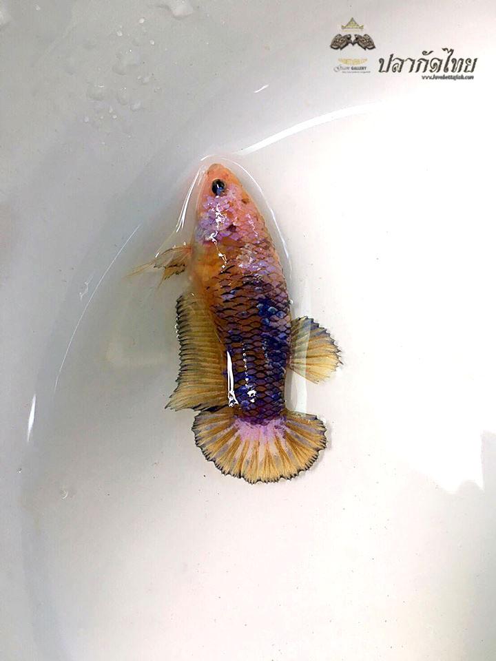 ปลากัดคัดเกรดครีบสั้นตัวเมีย - Female Halfmoon Plakad Fancy Quality Grade