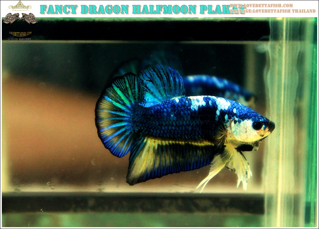 (ขายแล้วครับ)ปลากัดครีบสั้น-Halfmoon Plakat Fancy Blue Dragon Good Grade