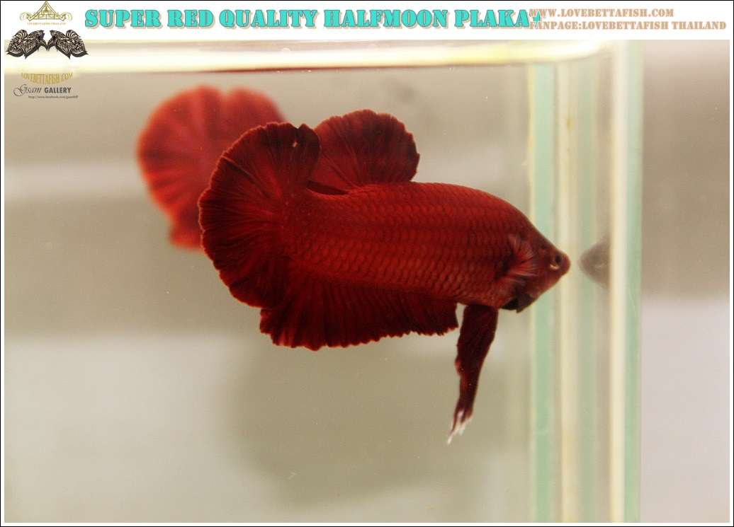 """(ขายแล้วครับ)ปล่อยพ่อพันธุ์ สมมาตร""""คัดเกรด""""ปลากัดครีบสั้น-Halfmoon Plakats Super Red"""