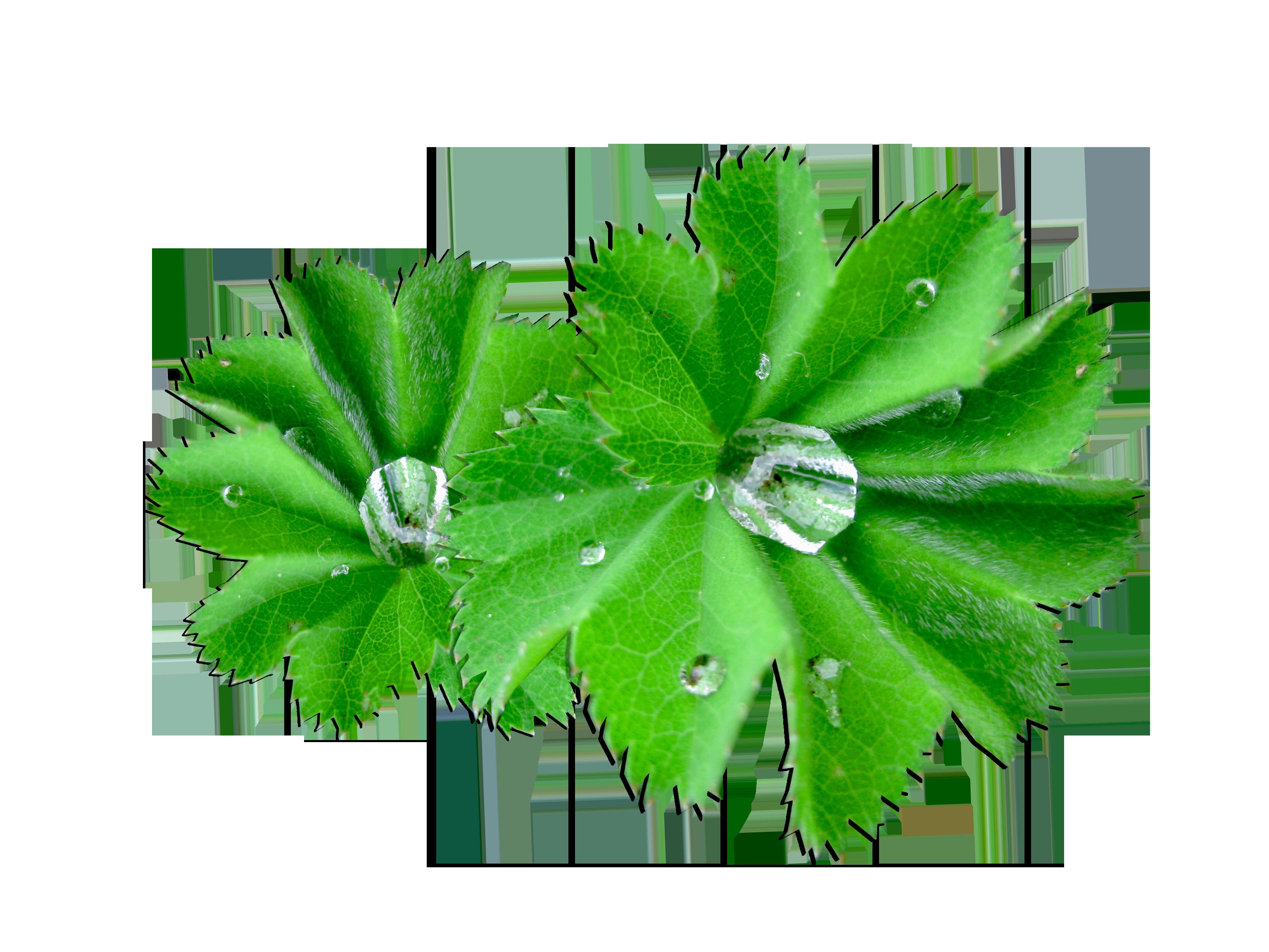 กัดจาก Alchemilla vulgalis (Lady's Mantle) เป็นพืชที่ มี Tannin สูง ช่วยให้ผิวกระชับ เพิ่มความยืดหยุ่นแก่ผิวหนัง และปรับความสมดุลความชุ่มชื้นของผิว และยังมีคุณสมบัติต้านอนุมูลอิสระ ช่วยปรับผิวให้สว่างกระจ่างใส