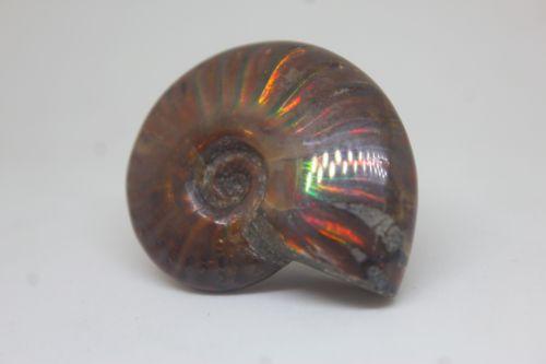 ฟอลซิลแอมโมไนต์ประกายรุ้ง ( Rainbow Ammonite )