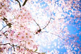 หัวน้ำหอมกลิ่น Sakura